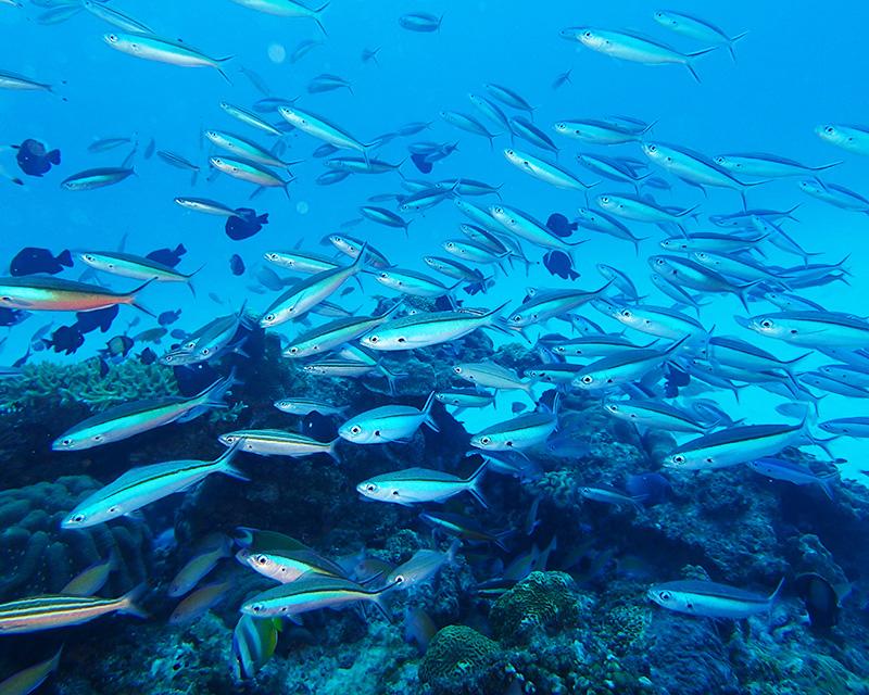 沖縄の県魚、グルクン