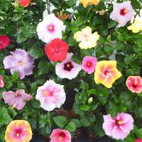 伊江島 ハイビスカス園の花