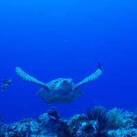 伊江島のダイビングで見られるウミガメ