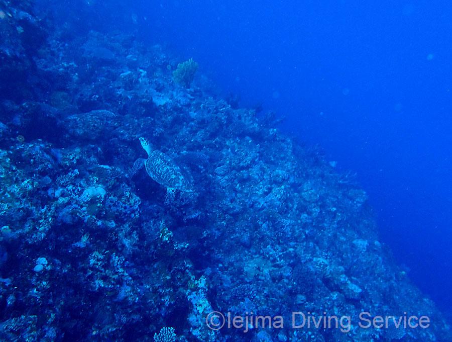 伊江島、ウェストクリフのウミガメ