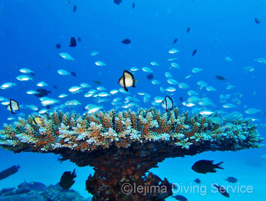 伊江島、パッチリーフのサンゴ