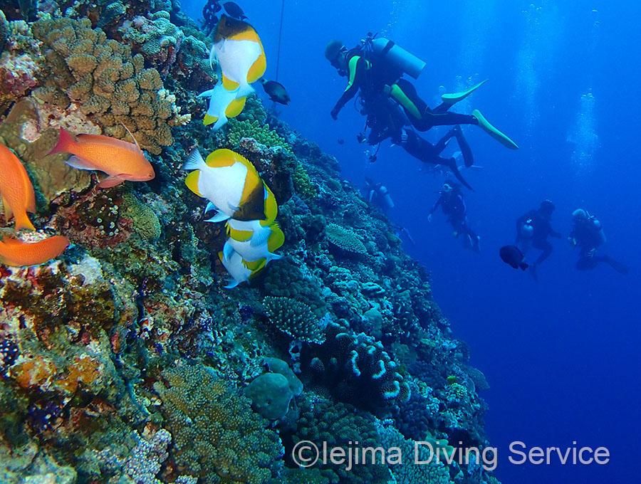 伊江島ドロップオフのハナヤサイサンゴ