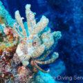 伊江島漁礁のオオコノハミノウミウシ