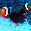 伊江島で卵を守るトウアカクマノミ 学名:Amphiprion polymnus (Linnaeus, 1758)