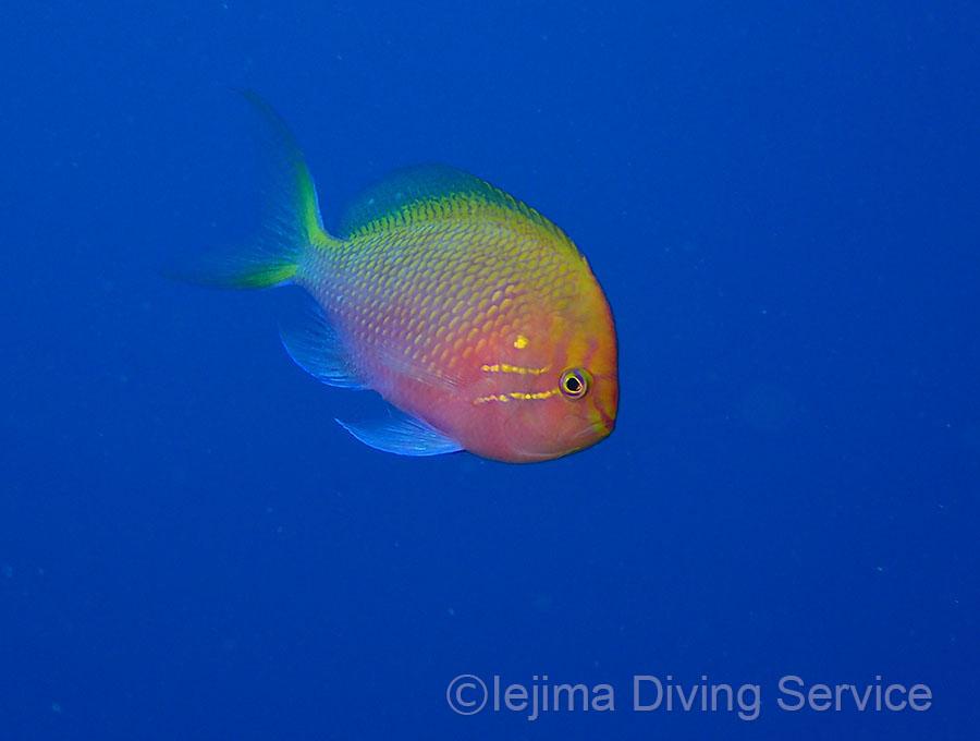 伊江島のハナゴンベは青抜きで撮れるよ 学名:Serranocirrhitus latus (Watanabe, 1949)
