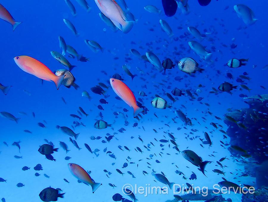 パッチリーフ、ケラマハナダイなど小型魚が多い