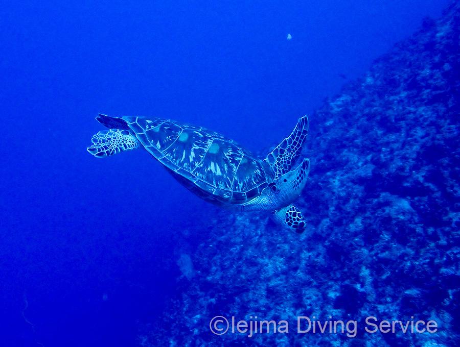 伊江島ダイビングで見られるウミガメ