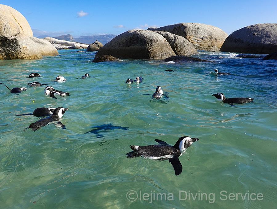 ペンギンと泳ぐ