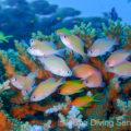 ケラマハナダイの幼魚