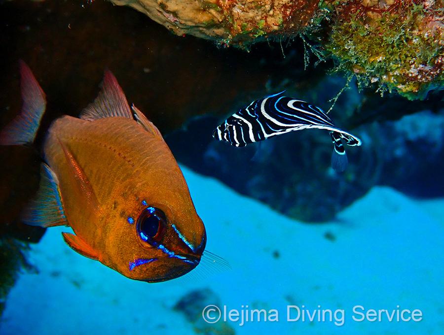 アオスジテンジクダイとタテジマキンチャクダイの幼魚