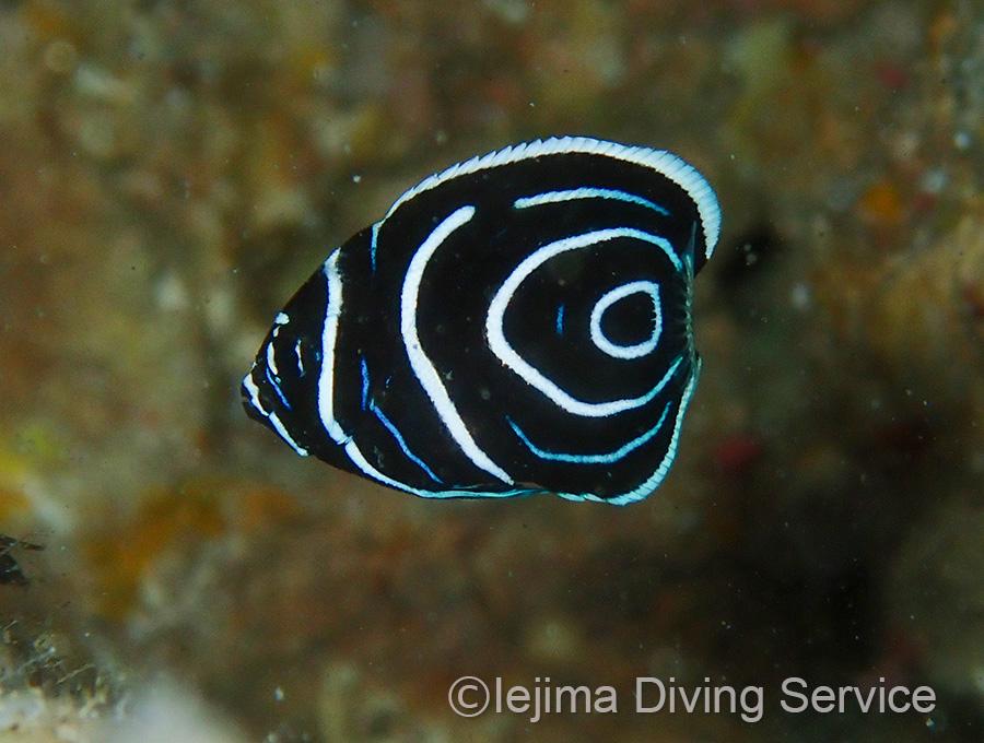 伊江島のタテジマキンチャクダイ幼魚