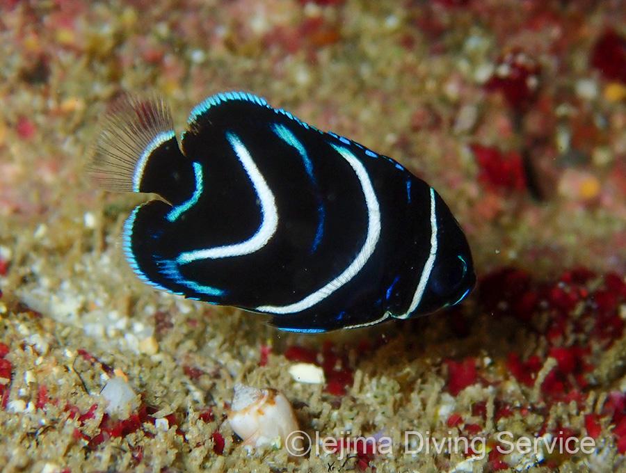 伊江島のサザナミヤッコ幼魚