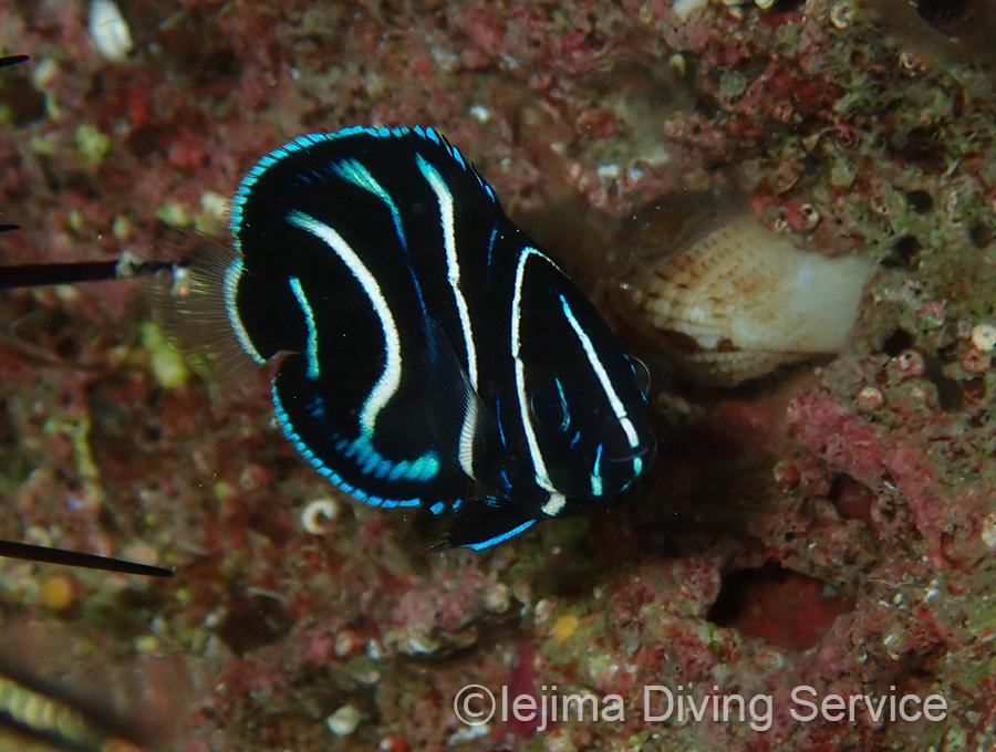タイドプールにいる伊江島のサザナミヤッコ幼魚