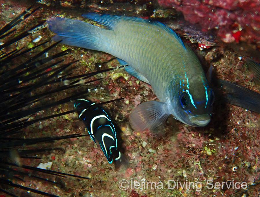 ネズスズメダイとタイドプールにいる伊江島のサザナミヤッコ幼魚