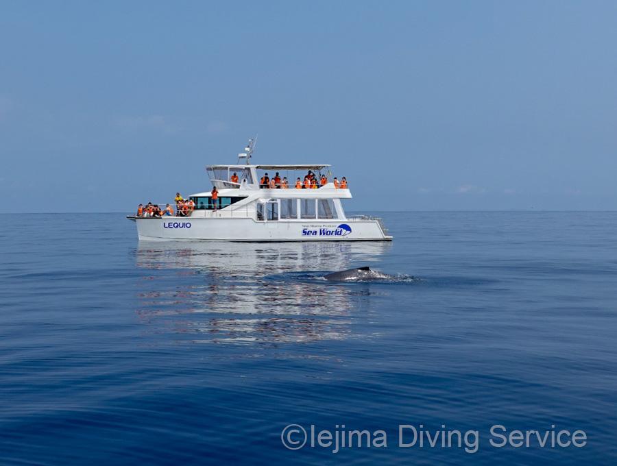 ホエールウォッチング船とクジラ