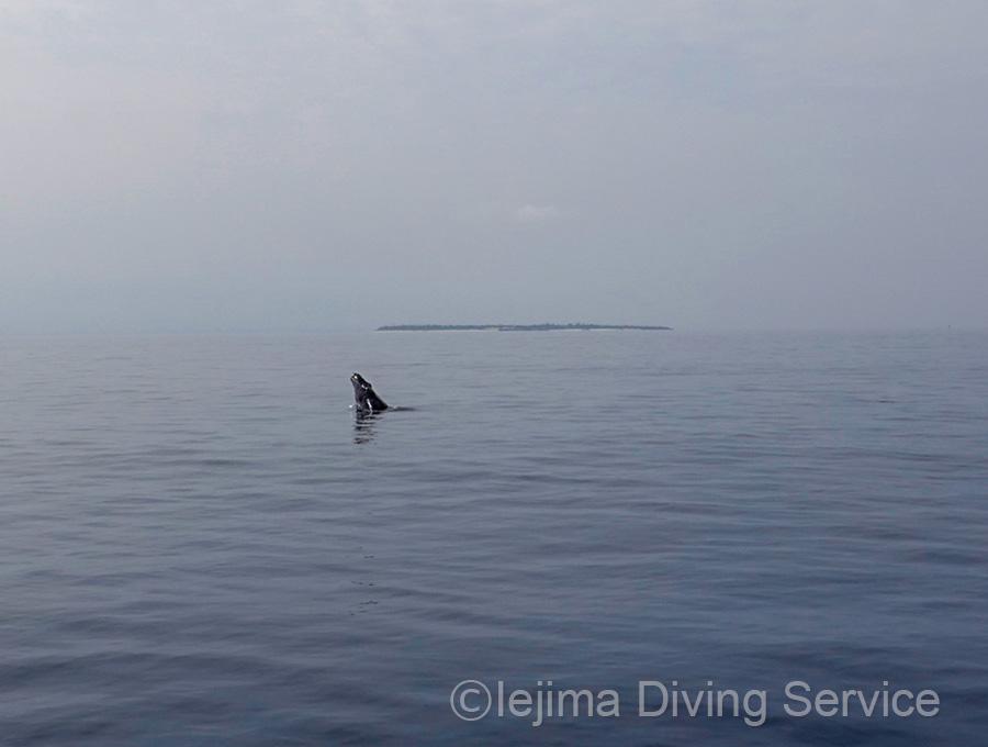 水納島をバックに、ザトウクジラのスパイホッピング