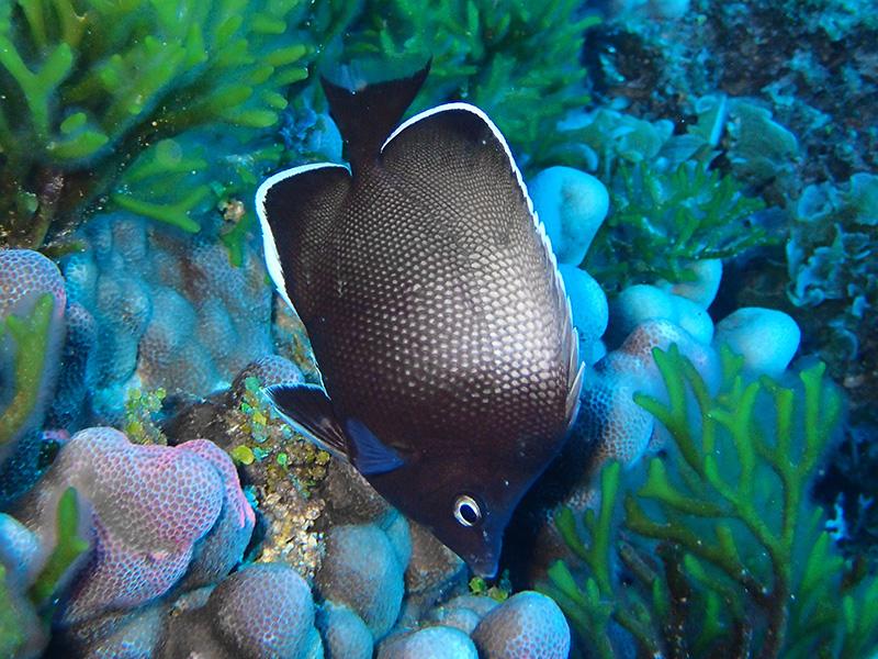 イースター島固有のチョウチョウウオ Chatodon litus