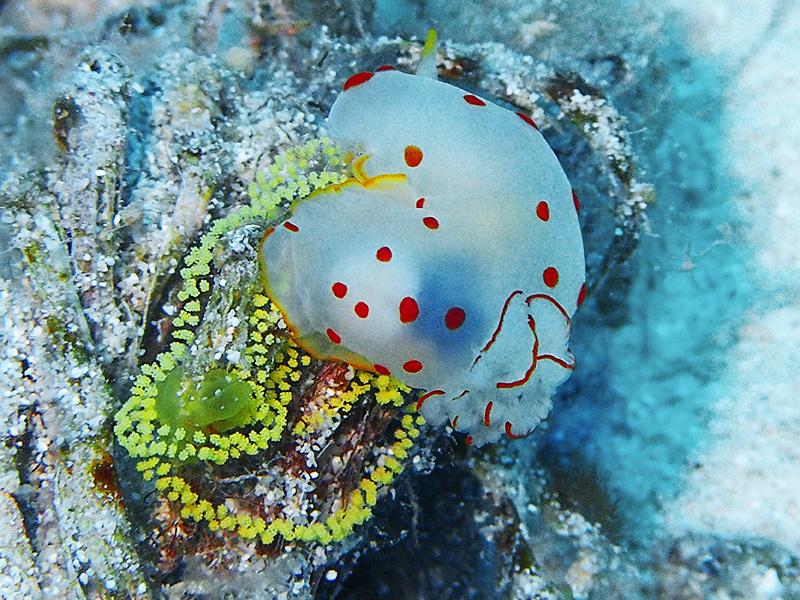 オオエラキヌハダウミウシの産卵