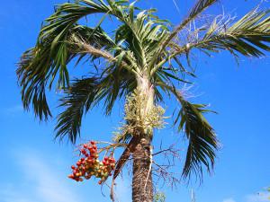 伊江島のマニラ椰子
