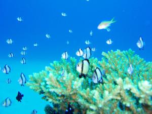 伊江島浅瀬のサンゴと魚