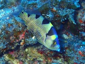 中ノ瀬東で見られるアゴハタ幼魚