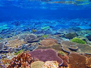 元気に育っている伊江島のサンゴ