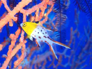 ヒオドシベラの幼魚
