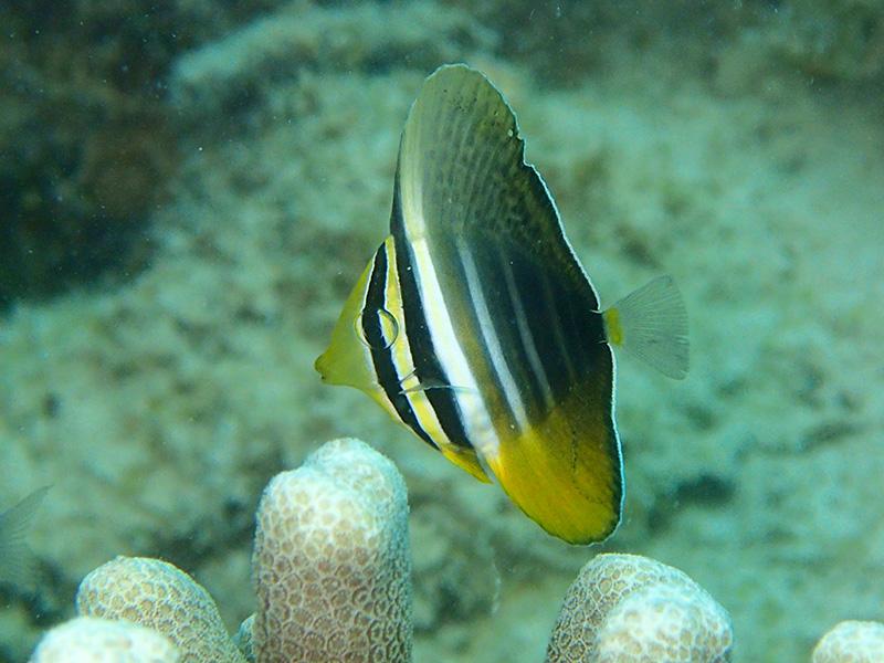 ターミナル西のヒレナガハギ幼魚
