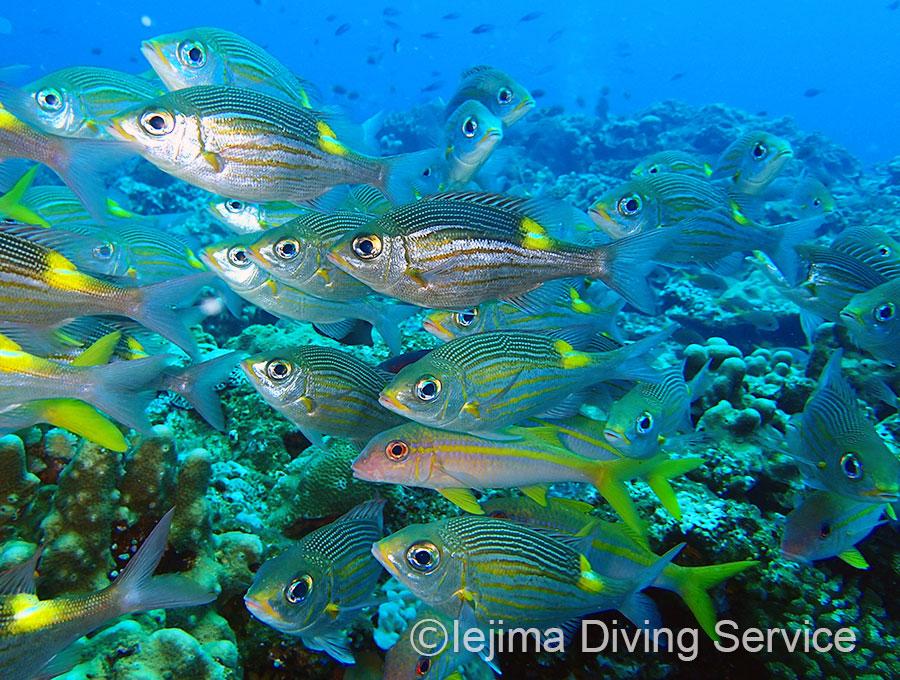 伊江島サンゴ礁域のノコギリダイ(Gnathodentex aureolineatus)