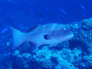 コクハンアラの成魚
