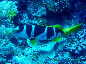 コクハンアラの若魚