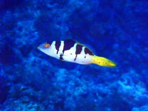 コクハンアラの幼魚