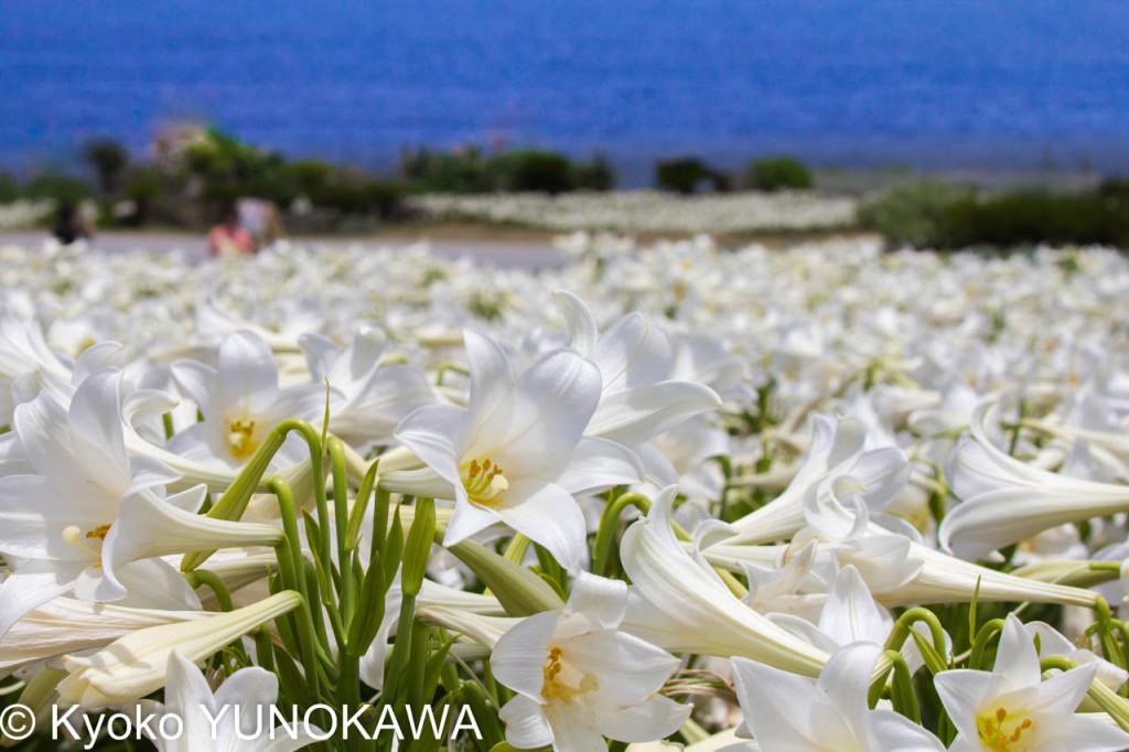 「第21回伊江島ゆり祭り」テッポウユリと青い海