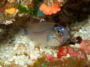 伊江島のナイトダイブで見られる幼魚