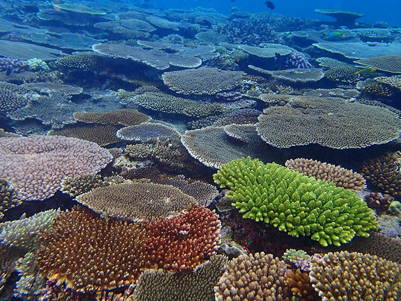 復活した伊江島浅瀬のサンゴ礁