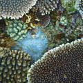 伊江島のサンゴ礁に隠れるオニヒトデ