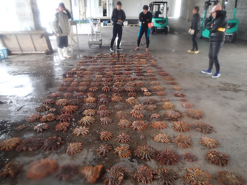 伊江漁協の環境保全活動で駆除されたオニヒトデ