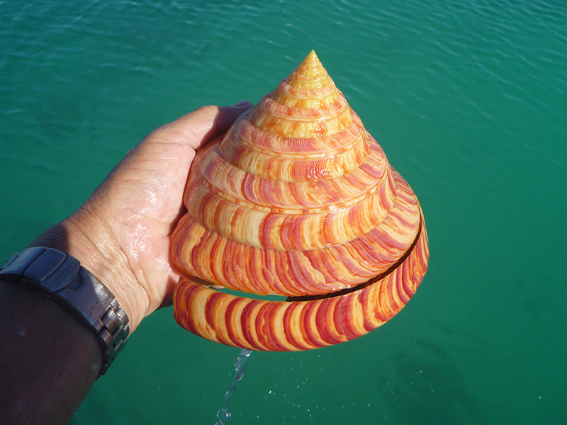 伊江島で捕獲されたリュウグウオキナエビス