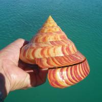 伊江島で捕獲された綺麗なリュウグウオキナエビス