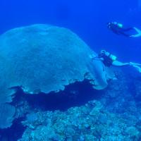 直径10m近いハマサンゴ
